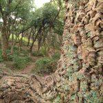 Quercia da sughero - Quercus suber