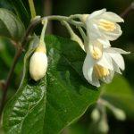 Storace - Styrax officinalis