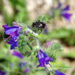 Fioritura di erba viperina - Echium vulgare
