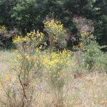 Arbusti di ginestra